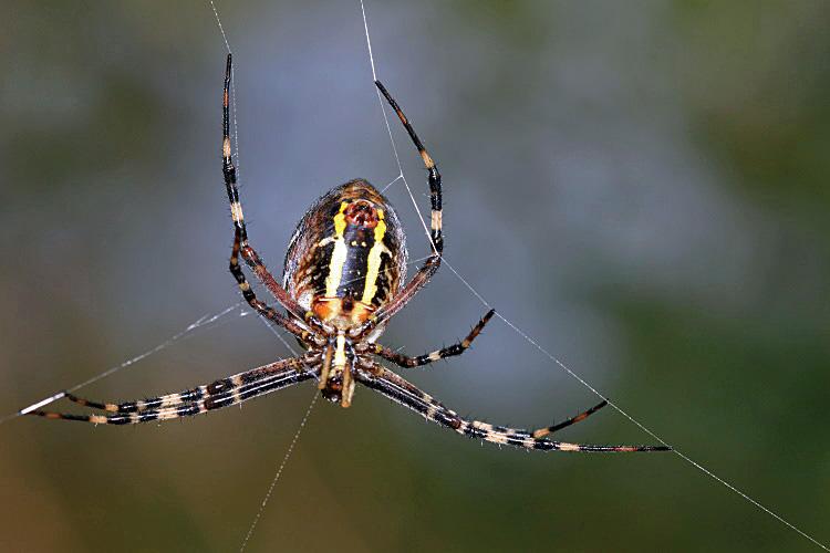 Wespenspinne beim Netzbau...