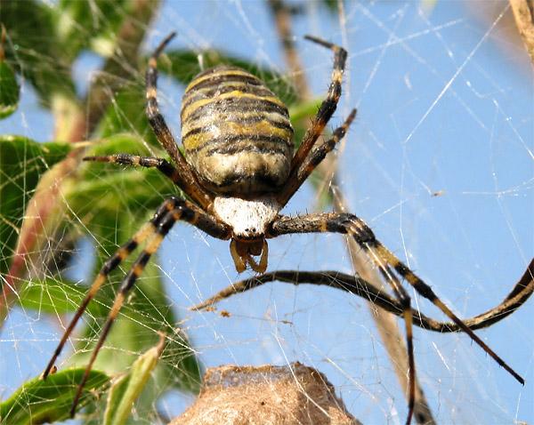 Wespenspinne bewacht ihr Nest.