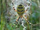 Wespenspinne in ihrem Netz