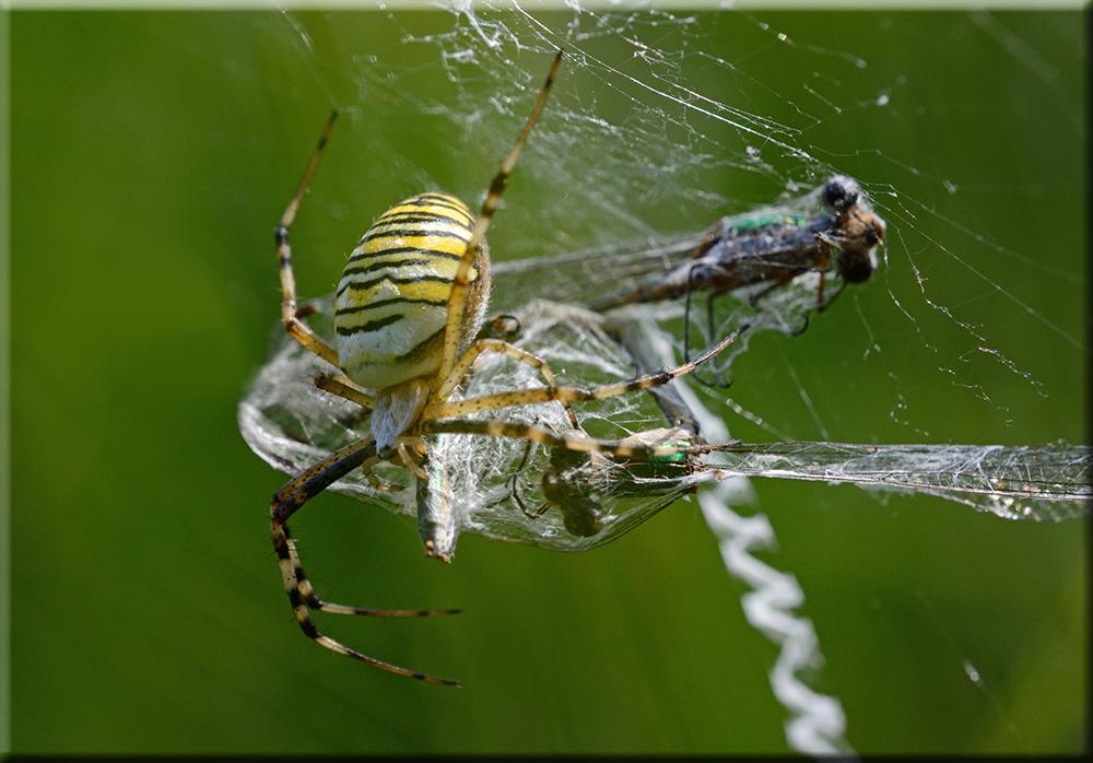 Wespenspinne mit Beute 2
