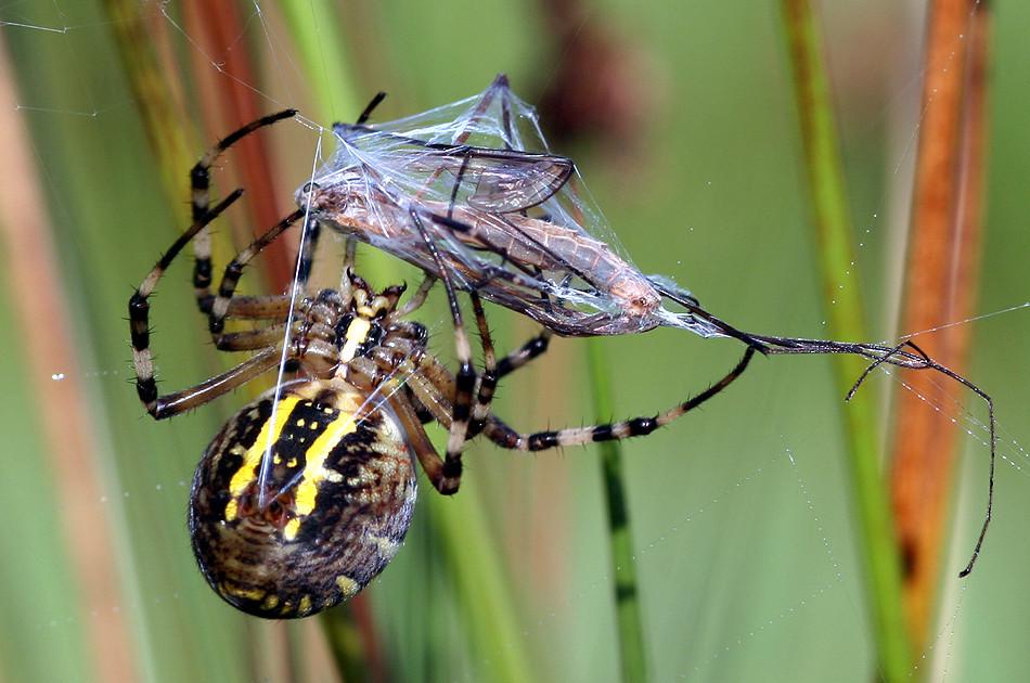 Wespenspinne mit gefangener Schnake