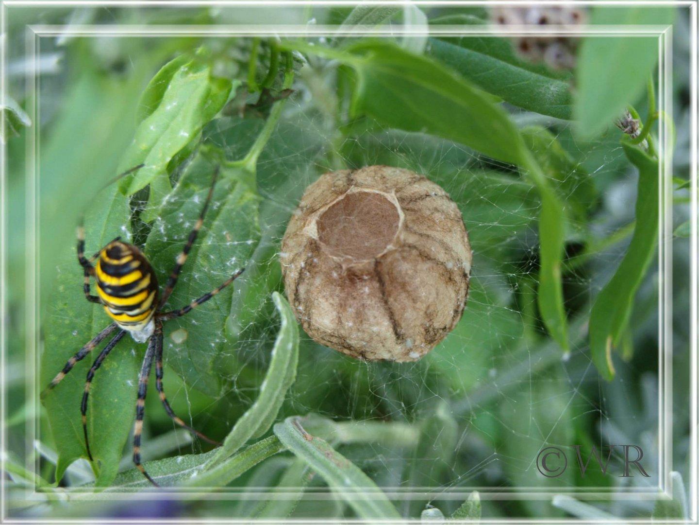 Wespenspinne mit Nest