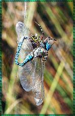 Wespenspinne vernascht Mosaikjungfer