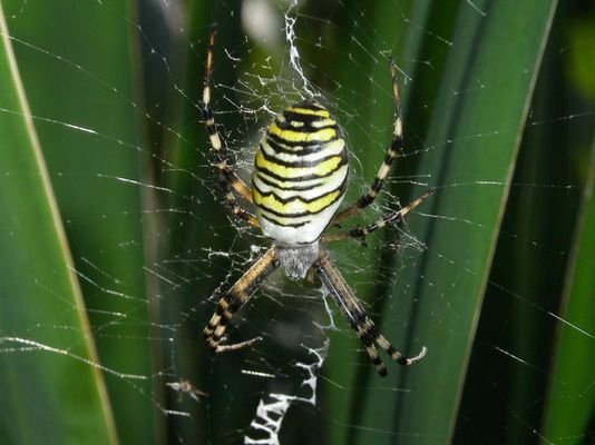 Wespenspinne (Verwandte der Kreuzspinnen)