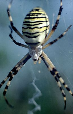Wespenspinnen