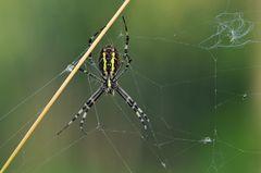 Wespenspinnen – Hängen
