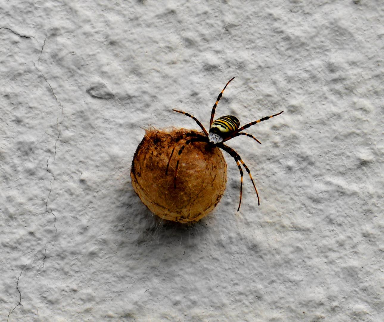 Wespenspinnenmama