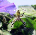 Wespen(Zebra)spinne
