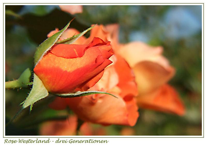 Westerland - drei Blütengenerationen
