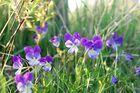 Westfälisches Gallmei-Veilchen+Acker-Stiefmütterchen (Viola preywischiana)