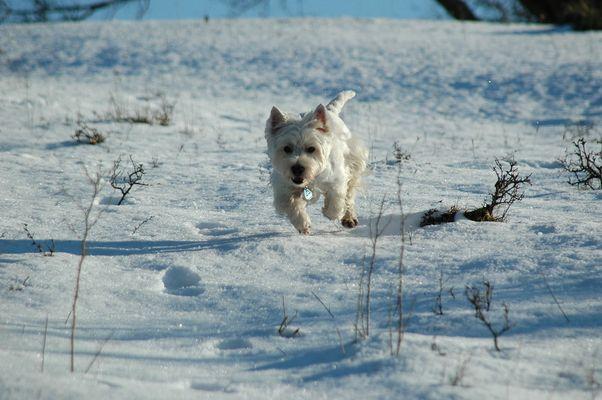 Westie im Winter II