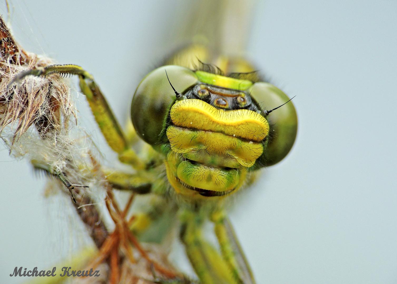 Westliche Keiljungfer – Gomphus pulchellus