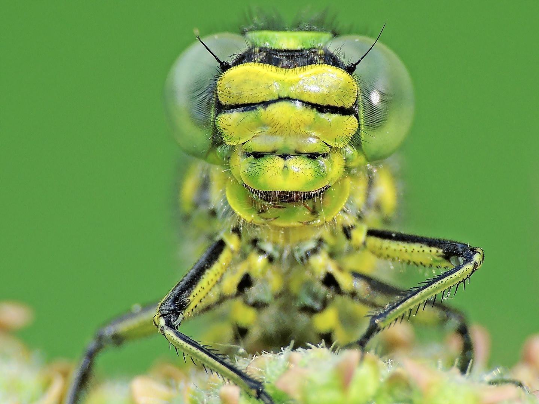 Westliche Keiljungfer – Gomphus pulchellus 2