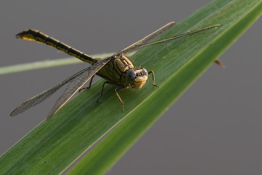 Westliche Keiljungfer (Gomphus pulchellus)