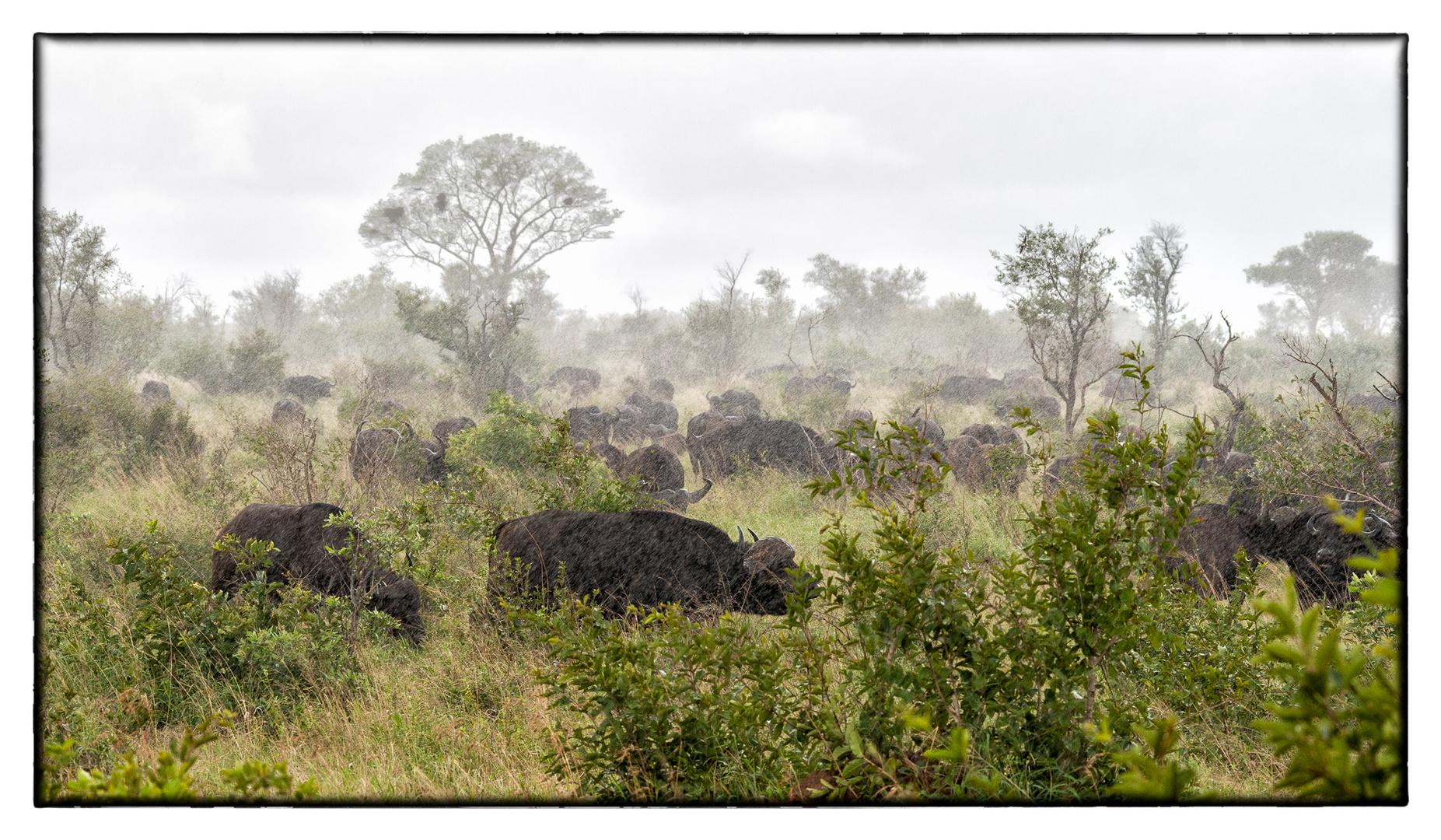 Wet Buffalo at Kruger