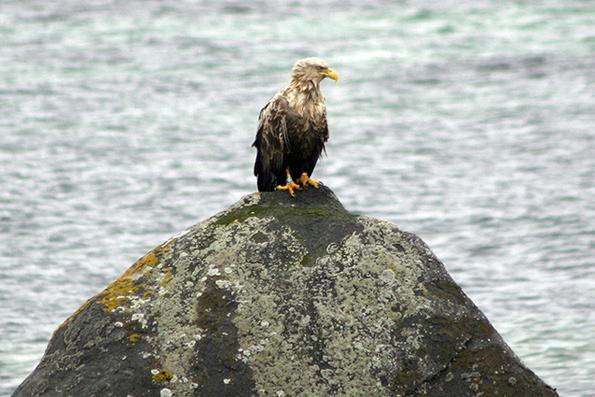 Wet Eagle