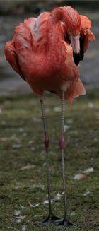 Wet-Flamingo