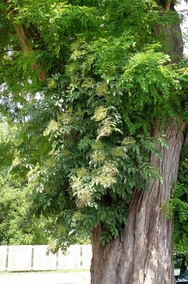 wg akazienbaum mit holunder foto bild pflanzen pilze flechten b ume blatt bl te. Black Bedroom Furniture Sets. Home Design Ideas