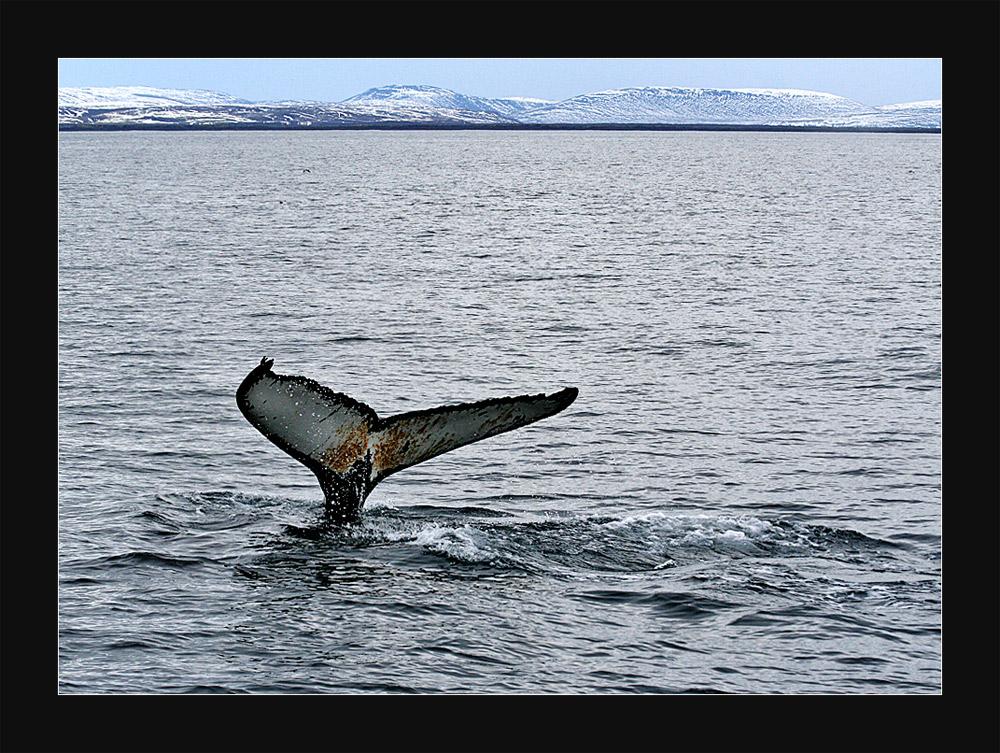 Whale Watching- Auf den Spuren von Captain Ahab-last version