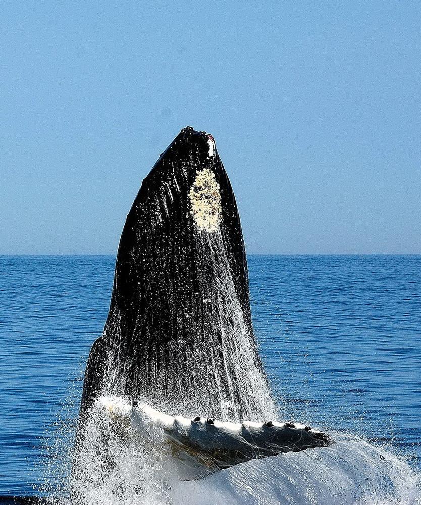 Whale Watching auf der Stellwagen Bank (Cape Cod)