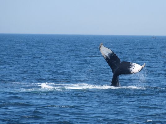 Whale watching bei Cape Cod (2)