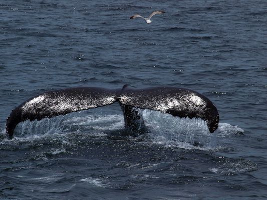 Whale watching bei Cape Cod