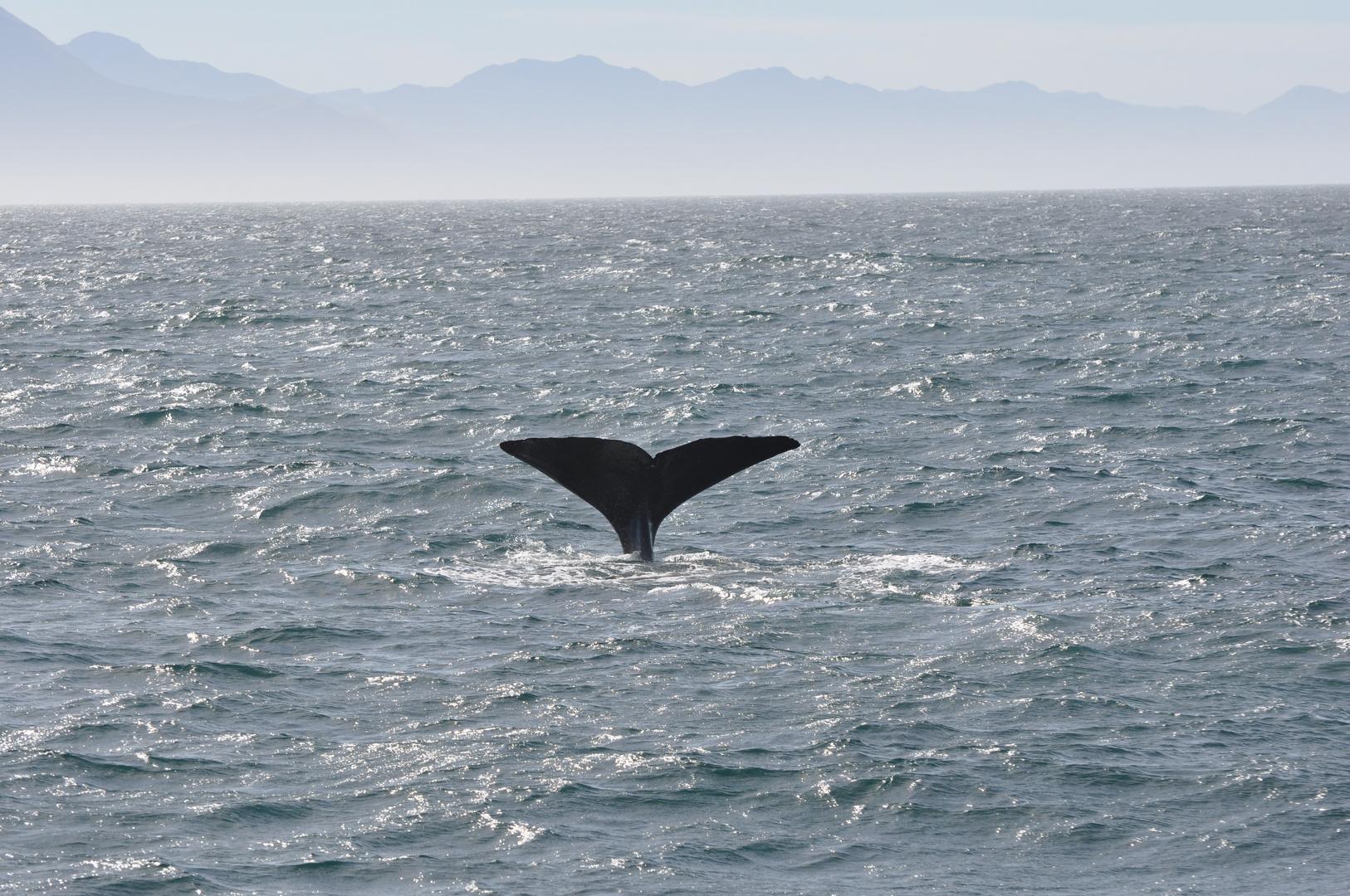 Whale Watching bei Kaikoura
