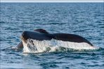 [ Whale Watching in der Bay of Fundy ]