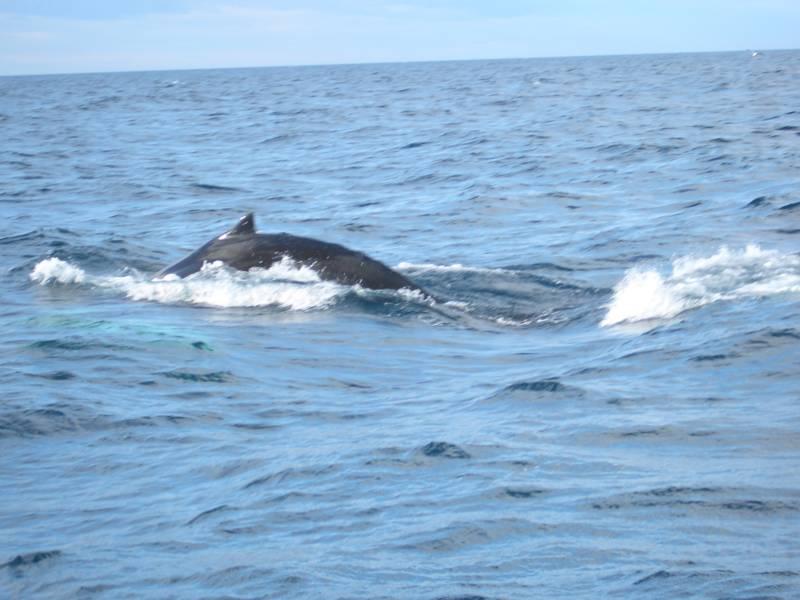 Whalewatching vor Husavik