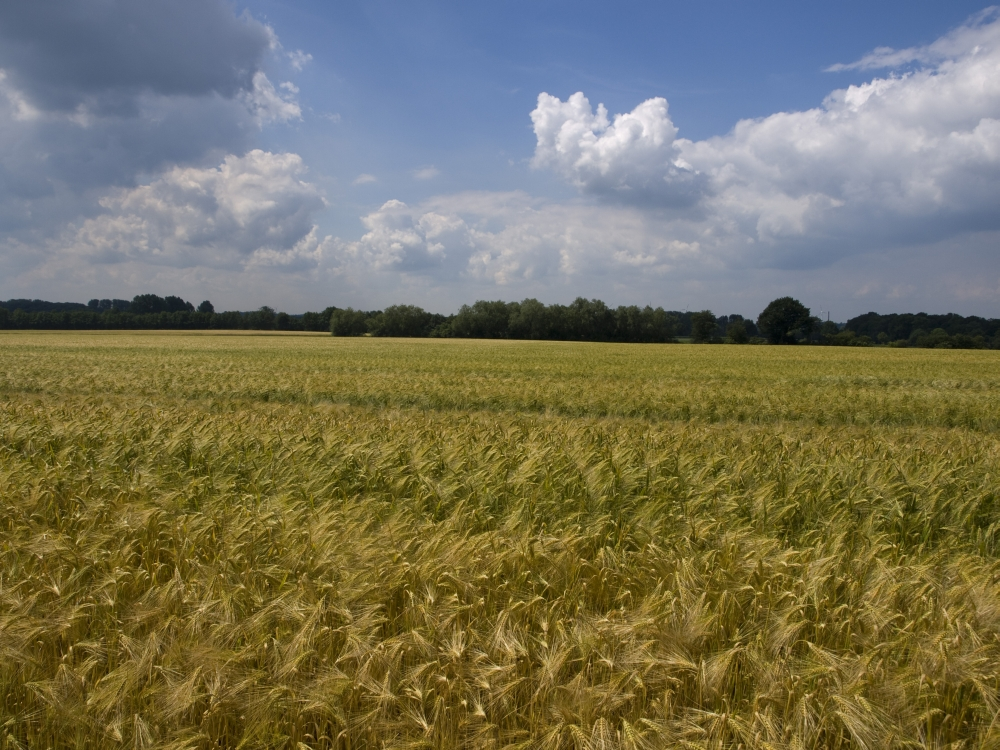 Wheatfield in Summer