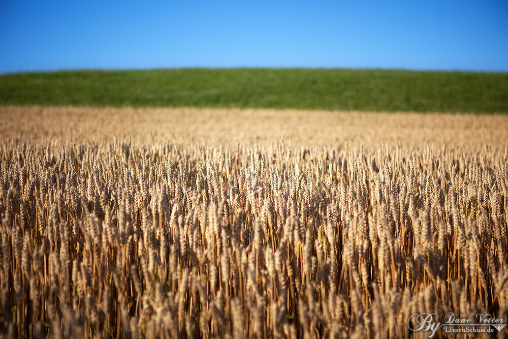 Wheatfield in the Summer