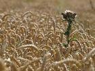 Wheatfield - Thistle