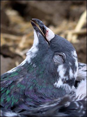 When doves die