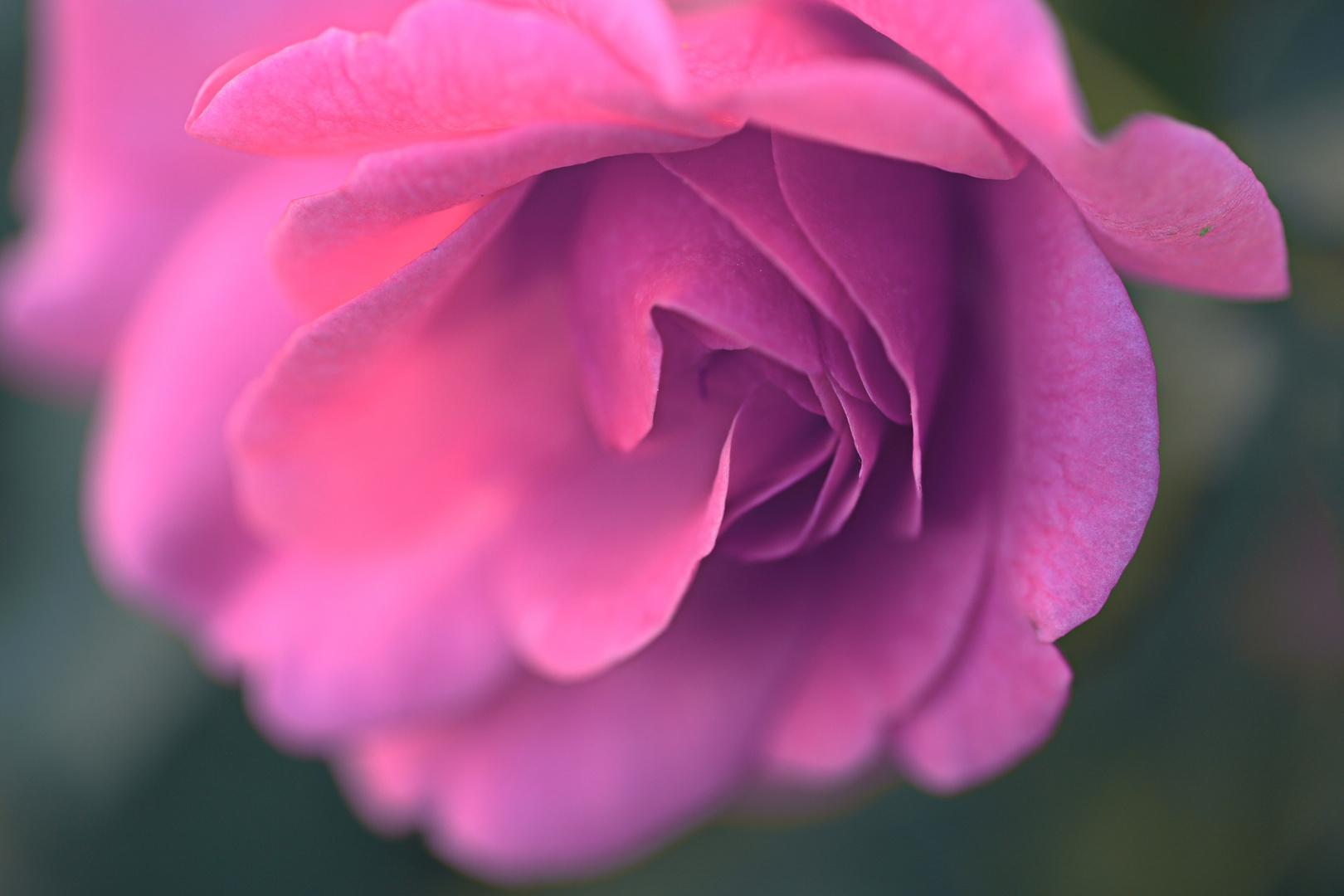 Where the wild roses grow