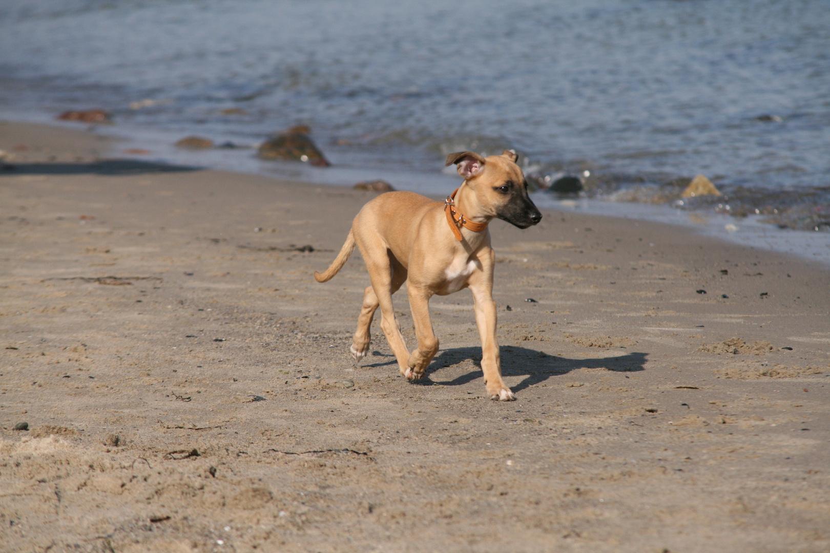 Whippetwelpe Duncan, sein erster Strandausflug