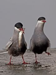 Whiskered Tern courtship