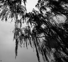 whispering tree