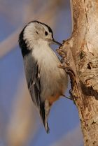 White-breasted Nuthatch 3