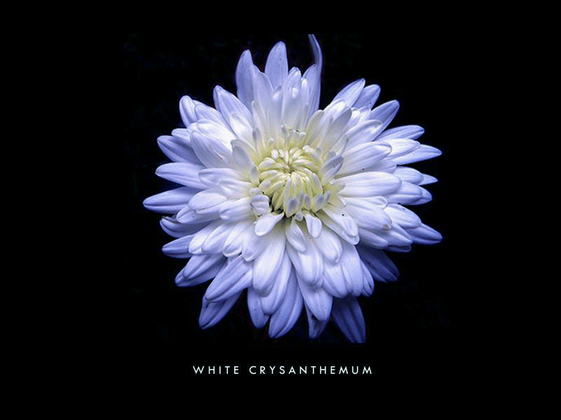 | white crysanthemum |