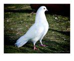 White Dove...