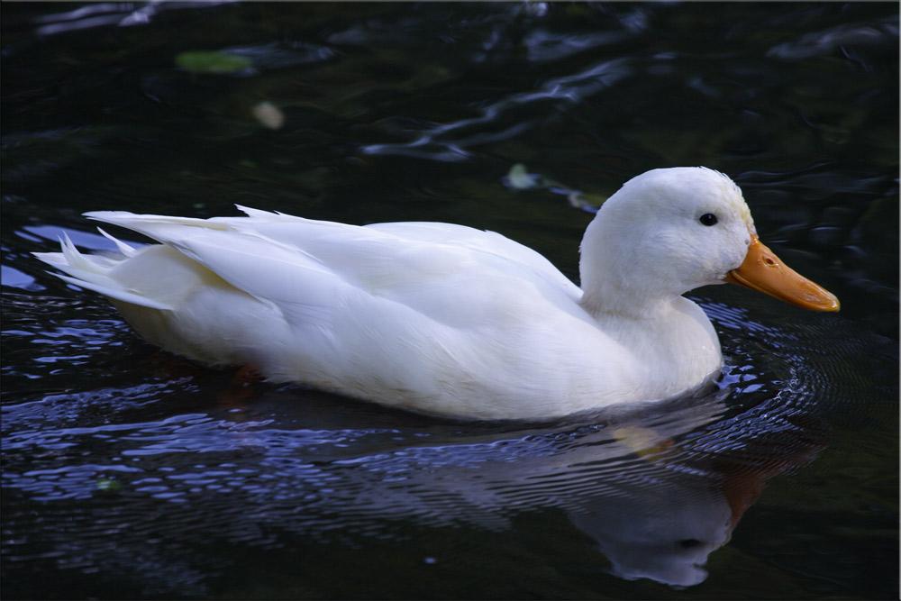 """""""White Duck"""""""