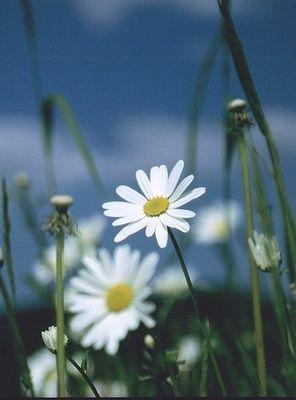 White Flowers II