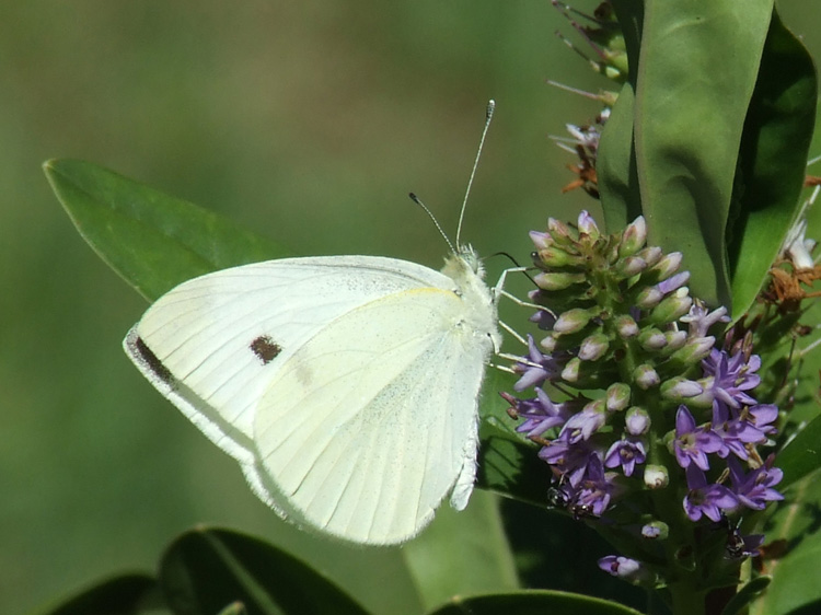 White Flutterby