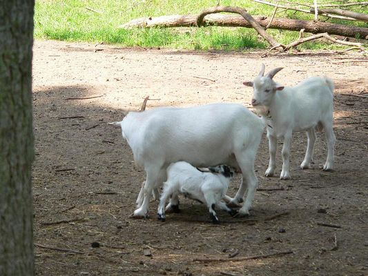 White goats in action