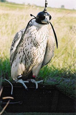 White Gry Falcon