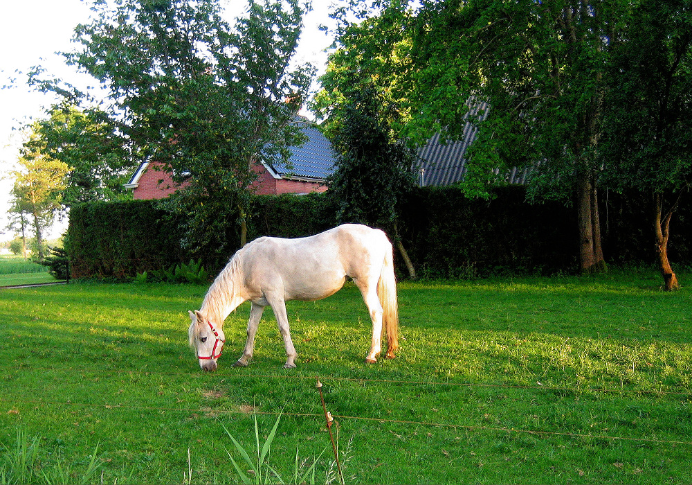 White horse eating grass