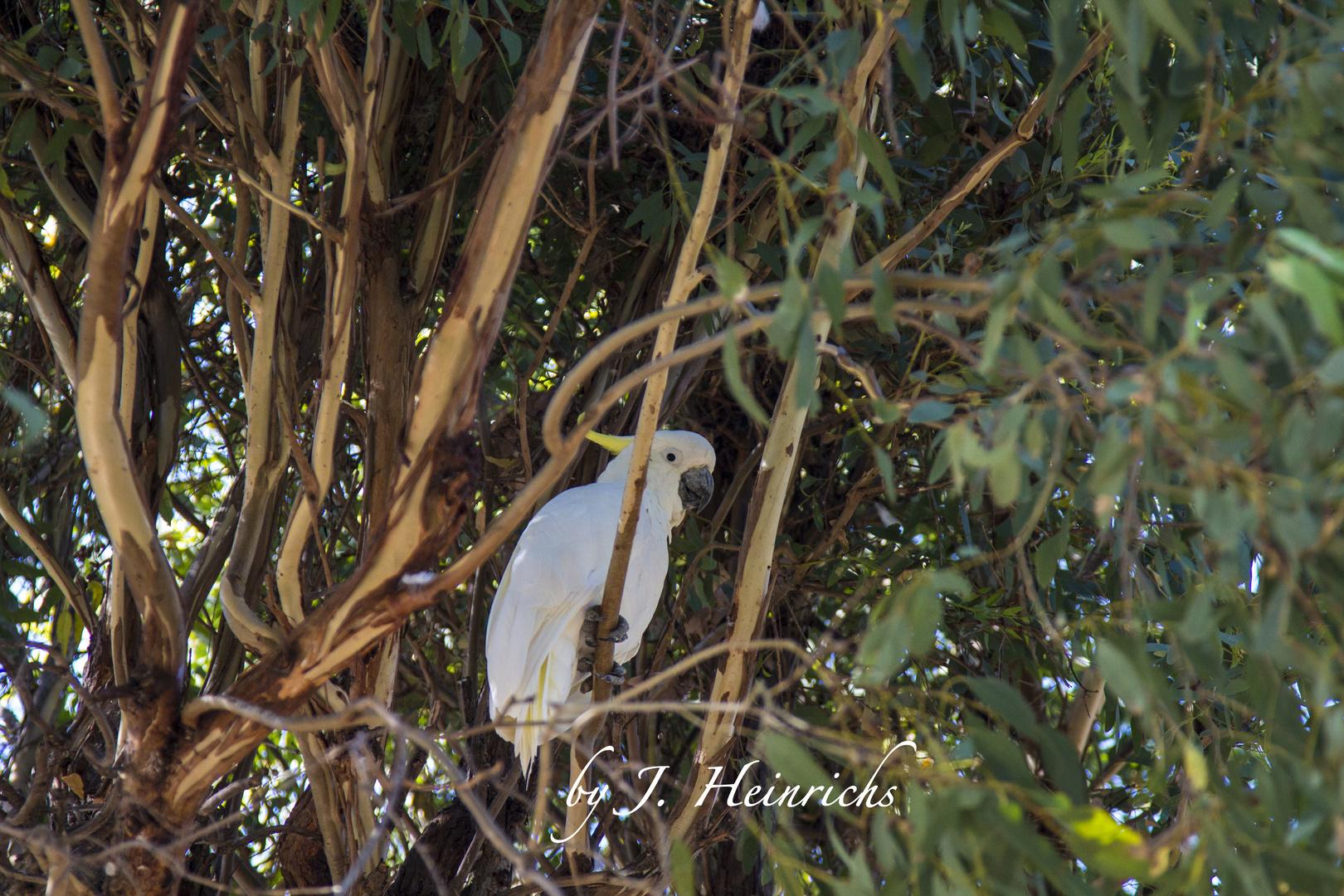 White Kakadu