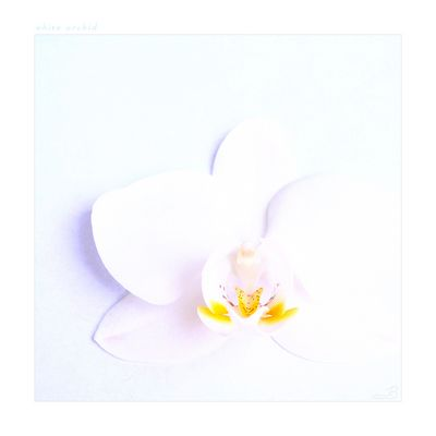"white orchid ""reloaded"""