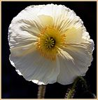 White poppy (backlight)