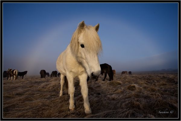 White rainbow over white Icelandic horse
